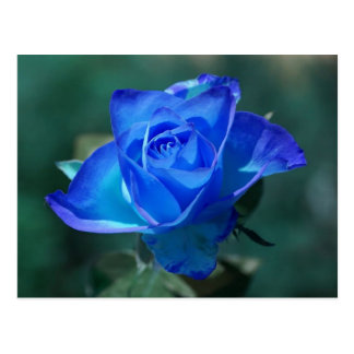 Blushed Blue Rose Postcard