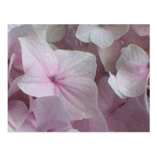 Blushing Hydrangea Postcard