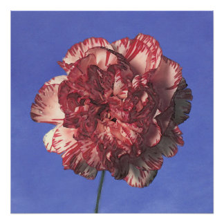 bly.sky~carnation-red/white poster