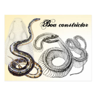 Boa Constrictor and its Skeleton Postcard