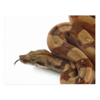 Boa Constrictor Coiled, Flicking Tongue Postcard