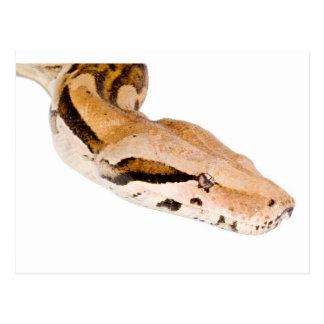Boa Constrictor Postcard