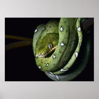 Boa esmeralda de la serpiente verde del árbol en B Impresiones