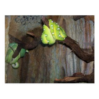 Boas esmeralda del árbol 3 tarjetas postales