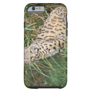 Bobcat (Felis rufus) Tough iPhone 6 Case