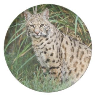 Bobcat (Felis rufus) Party Plates