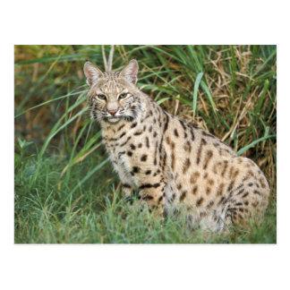Bobcat (Felis rufus) Postcard