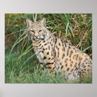 Bobcat (Felis rufus) Poster