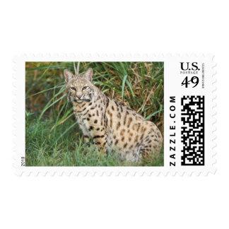 Bobcat (Felis rufus) Stamp