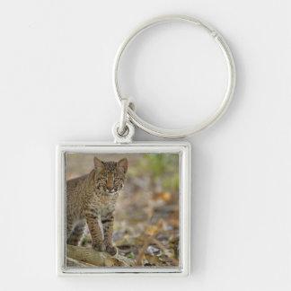 Bobcat, Felis rufus, Wakodahatchee Wetlands, Key Chain