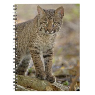 Bobcat, Felis rufus, Wakodahatchee Wetlands, Notebook