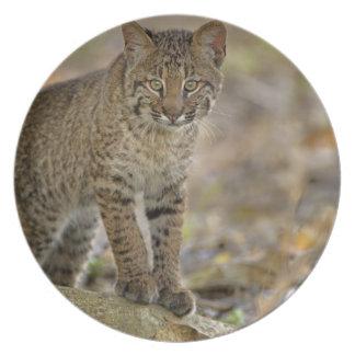 Bobcat, Felis rufus, Wakodahatchee Wetlands, Dinner Plate