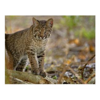 Bobcat, Felis rufus, Wakodahatchee Wetlands, Postcard
