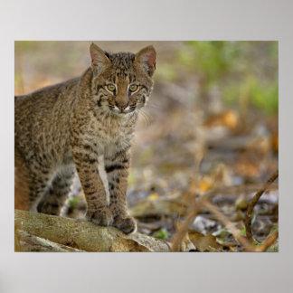 Bobcat, Felis rufus, Wakodahatchee Wetlands, Poster