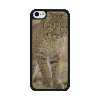 Bobcat, Felis rufus, Wakodahatchee Wetlands, Carved® Maple iPhone 5C Case