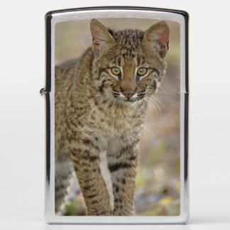 Bobcat, Felis rufus, Wakodahatchee Wetlands, Zippo Lighter