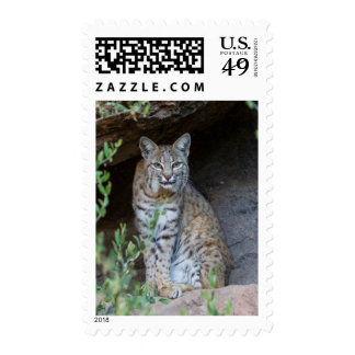 Bobcat Gazing Intently Postage
