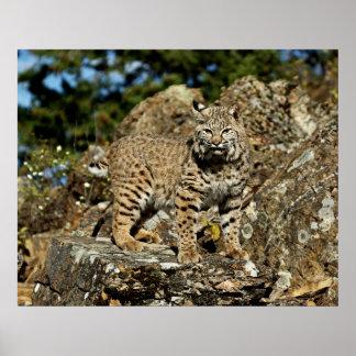 Bobcat in the Rocks Print