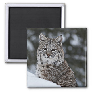 Bobcat in the Snow 2 Inch Square Magnet