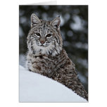 Bobcat in the Snow Card