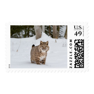 Bobcat in the snow postage