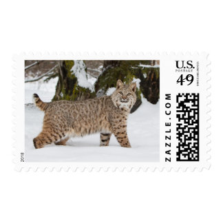 Bobcat in the snow Postage Stamp