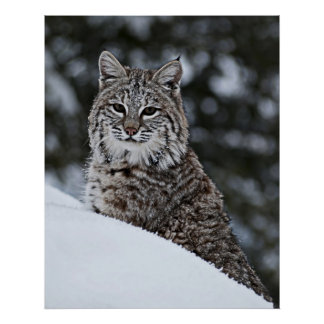 Bobcat in the Snow Poster
