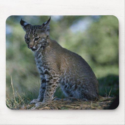 Bobcat-kitten Mouse Pad