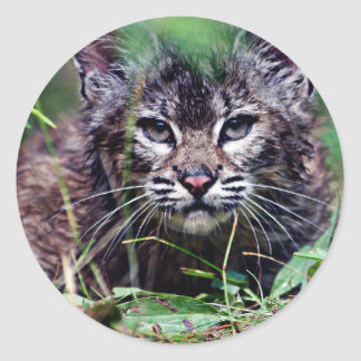 Bobcat Kitten Peering through the grass Classic Round Sticker