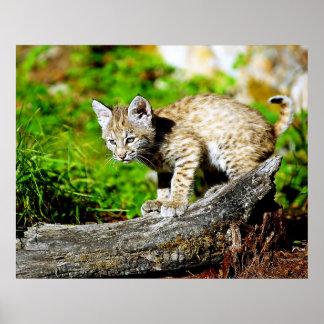 Bobcat Kitten Stalking Poster