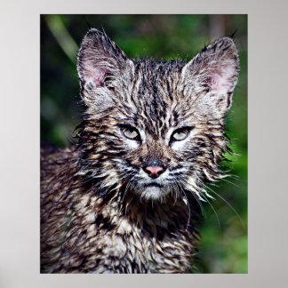 Bobcat Kitten Stare Down Poster