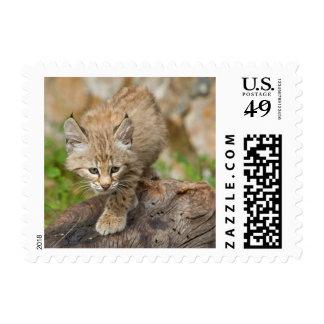 Bobcat Kitten Wildlife Postage