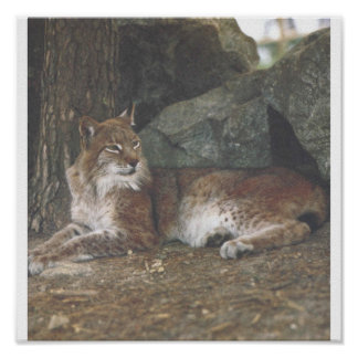 BOBCAT laying down Poster