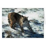 Bobcat on snow greeting cards