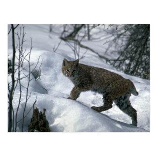 Bobcat on snow postcards