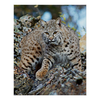 Bobcat on the Rocks Poster