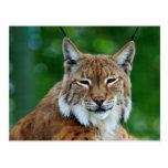 Bobcat or Lynx beautiful photo postcard