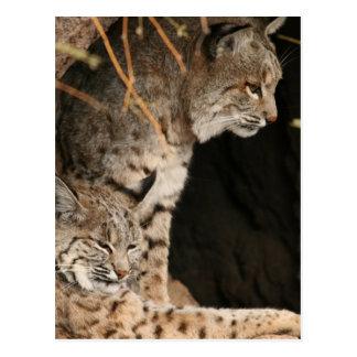 Bobcat Photos Postcard