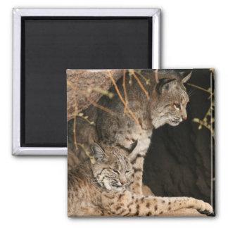 Bobcat Photos Square Magnet