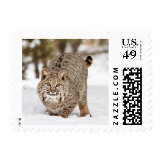 Bobcat Portrait in the snow Stamp