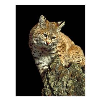 Bobcat Products from Junglewalk.com Postcard