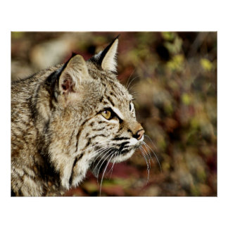 Bobcat Profile Posters