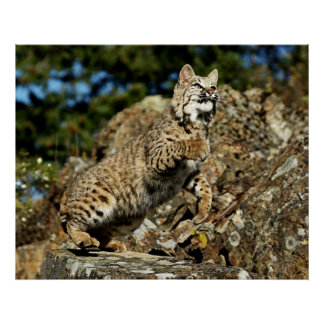 Bobcat - Ready to Pounce Posters
