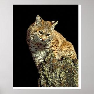 Bobcat sitting on a rock from Junglewalk.com Poster