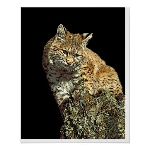 Bobcat sitting on a rock from Junglewalk.com Poster