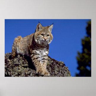 Bobcat skylined poster