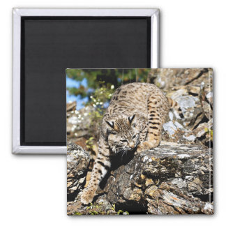 Bobcat sneaking down the cliff 2 inch square magnet