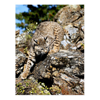 Bobcat sneaking down the cliff postcard