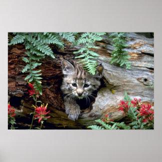Bobcat-summer-young kitten in hollow log print