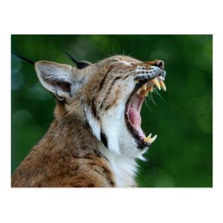 Bobcat Yawning Postcard